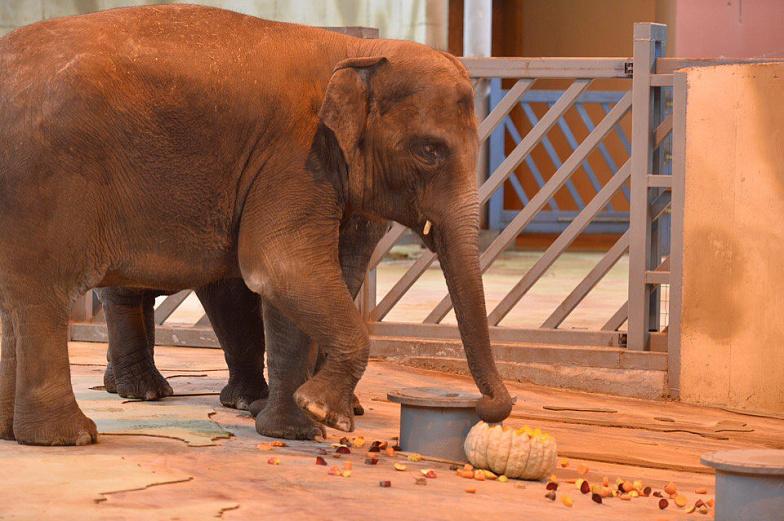 Педикюр сделают слонам взоопарке Ростова вдень рожденья Ситары